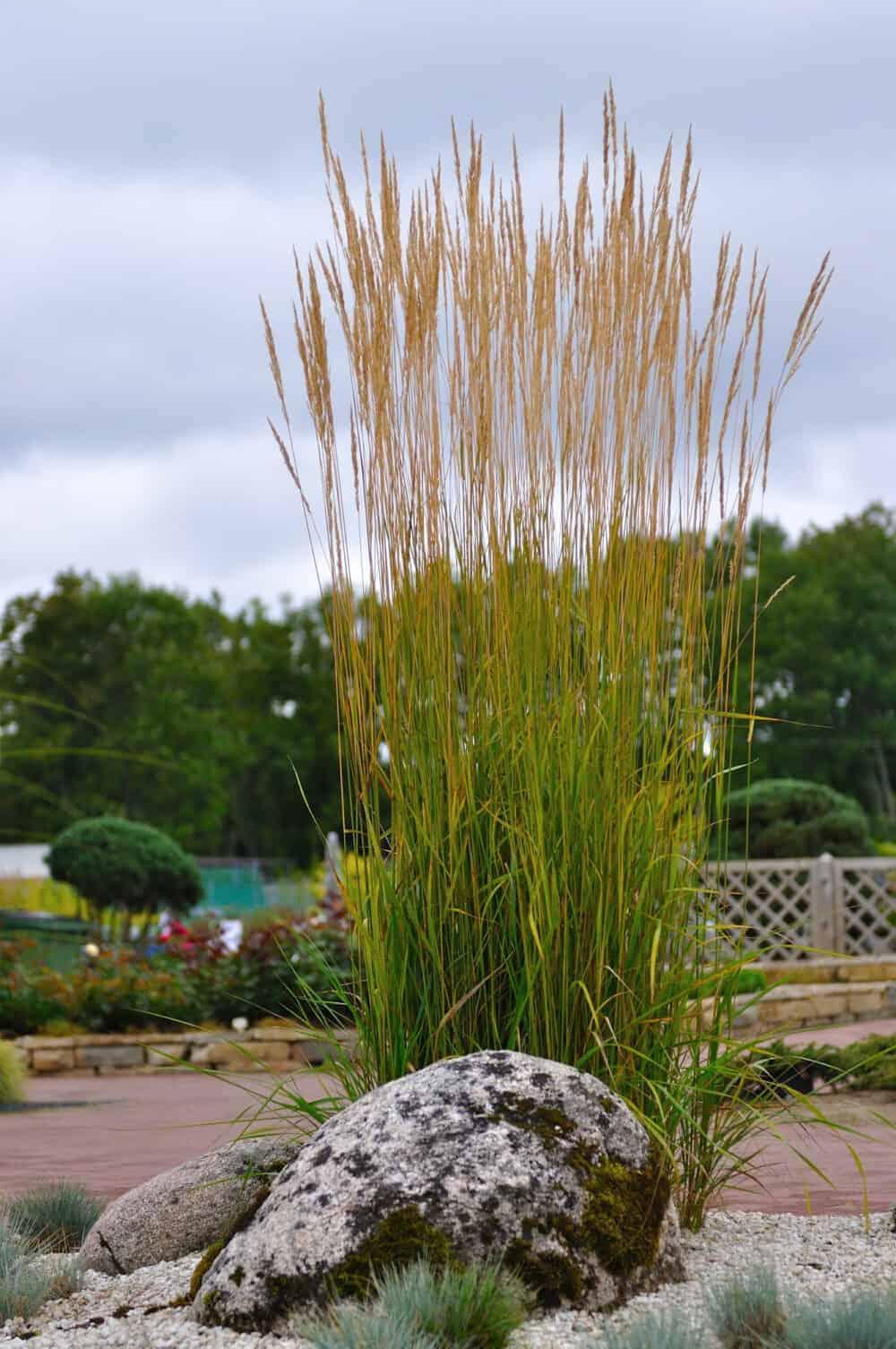 Calamagrostis acultiflora
