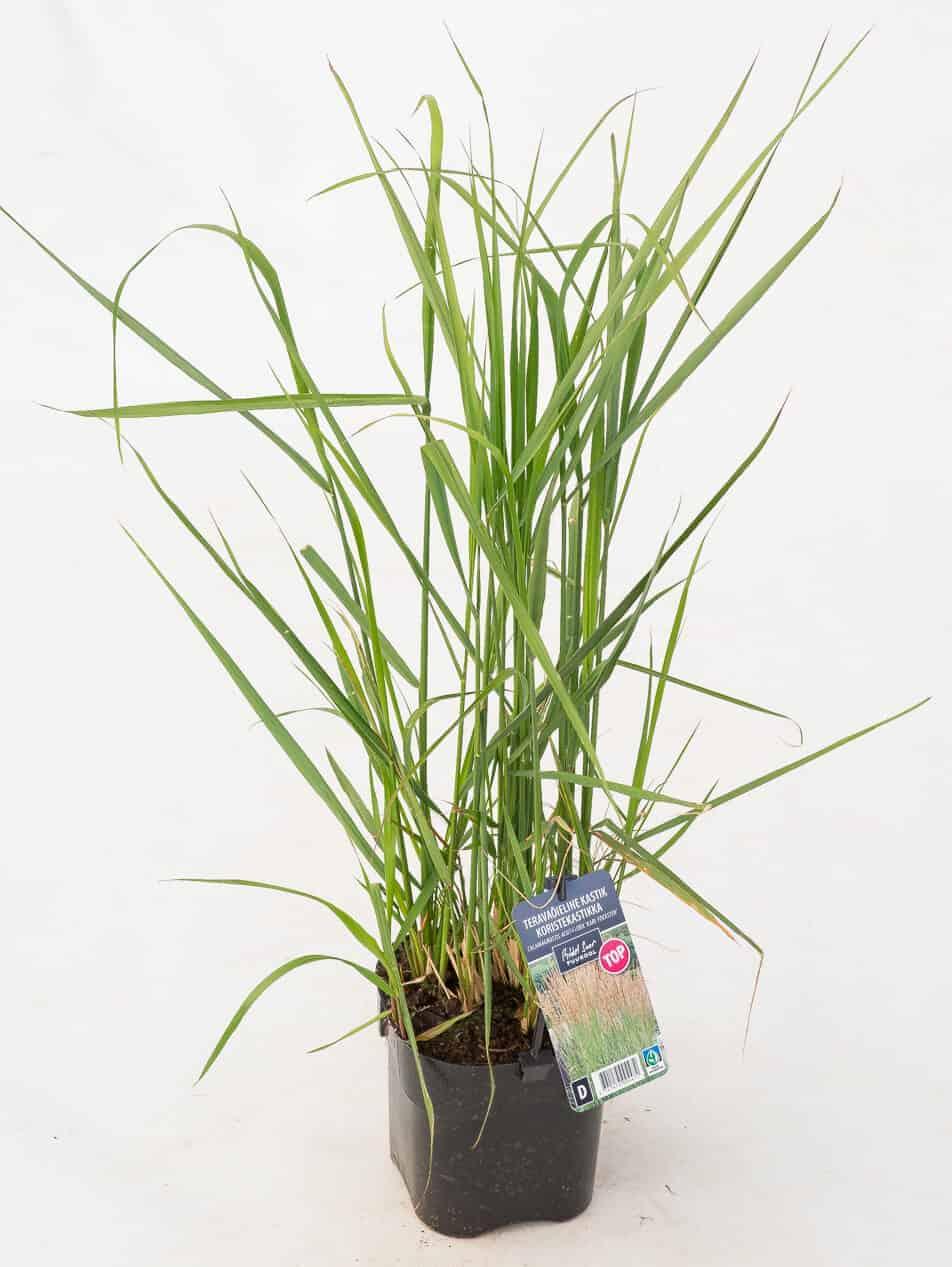 Tootepilt, Calamagrostis
