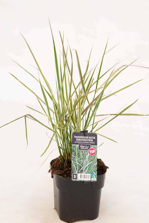 Tootepilt, Calamgrostis, kõrrelised