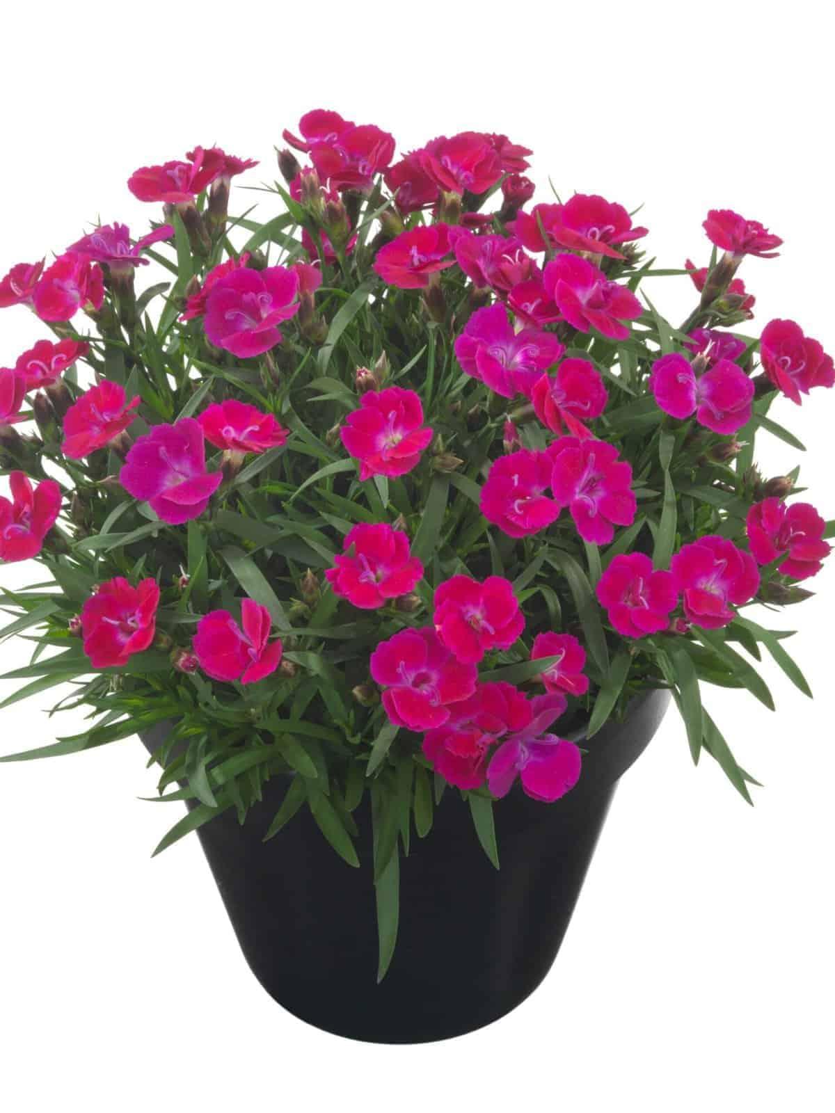 Tootepilt, Dianthus