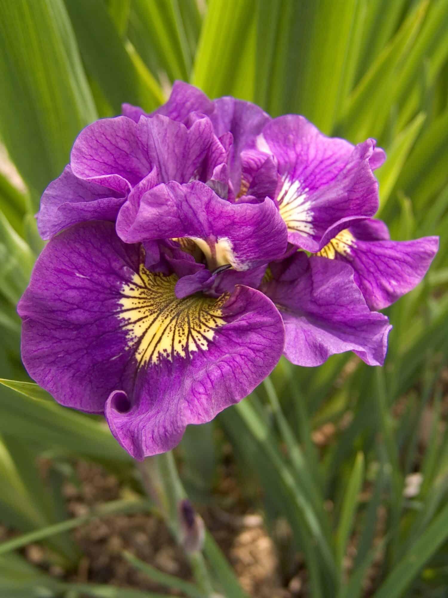 Iris sibirica