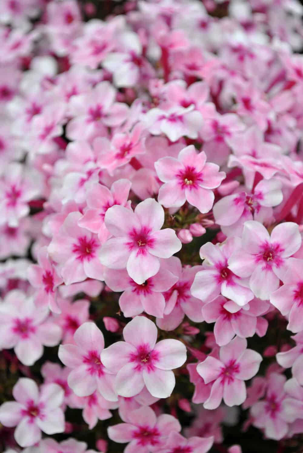 Phlox Early Pink