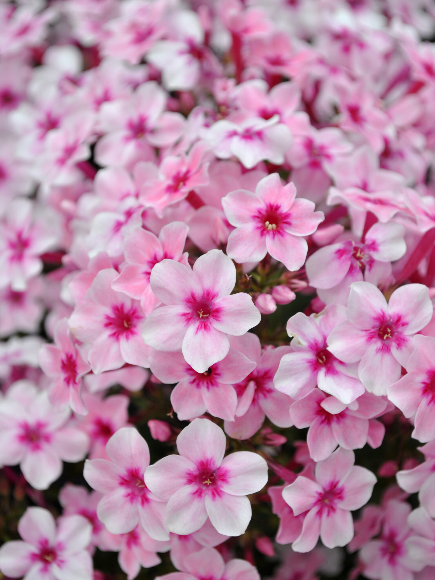 Phlox Early Pink