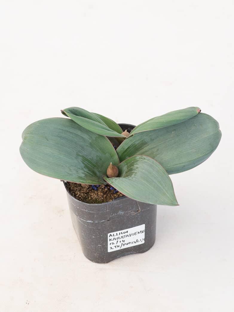 Tootepilt, Allium
