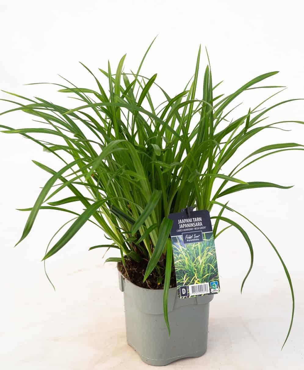 Tootepilt, Carex