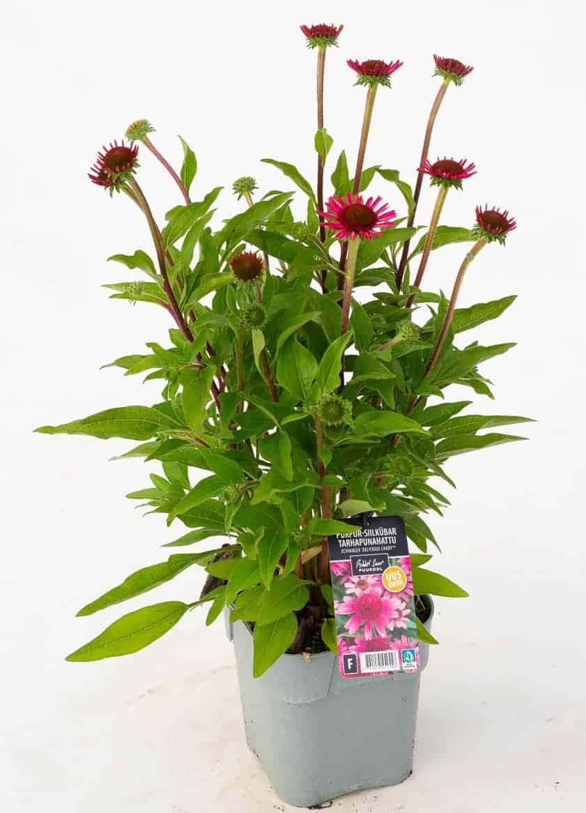 Tootepilt, Echinacea