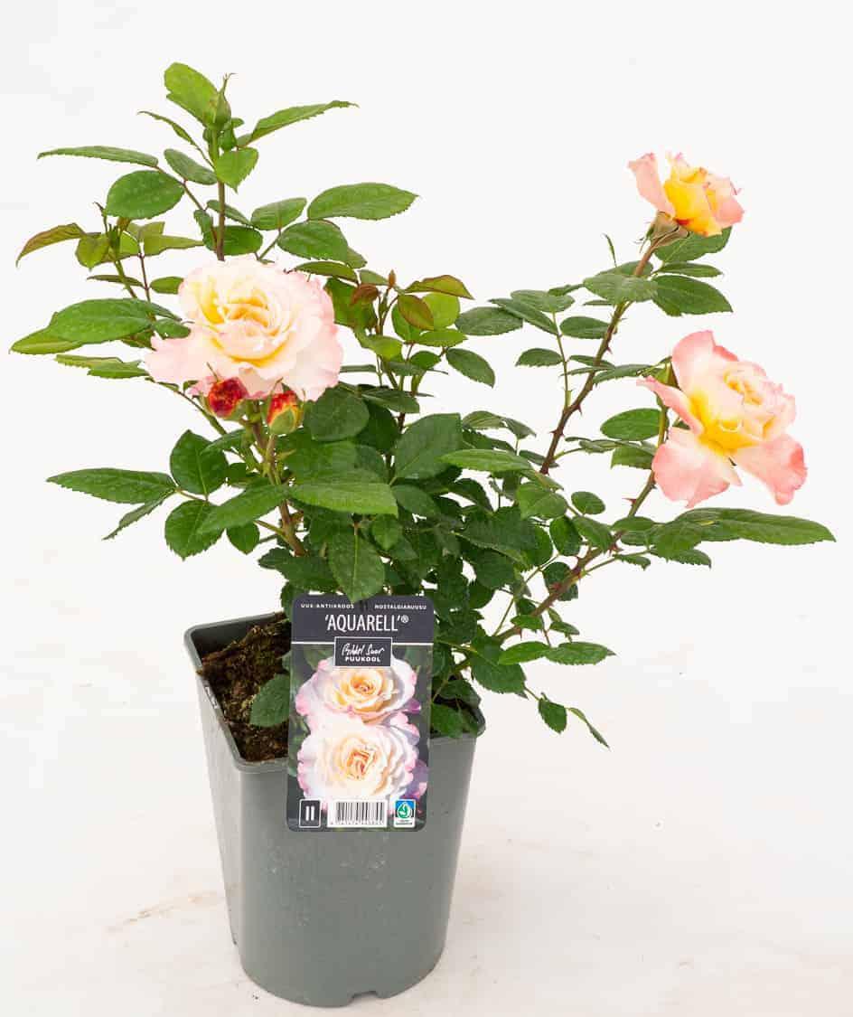 Tootepilt, Rosa
